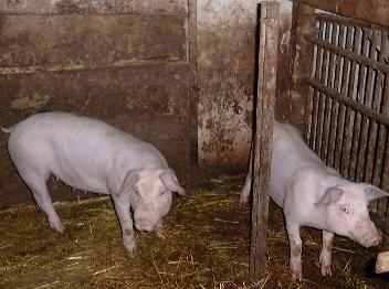 Bauernhoftiere Schweine