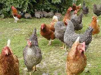 Bauernhoftiere fotos vom federvieh perlhühner hühner und enten